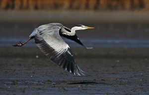 Grey Heron by Dtomi84