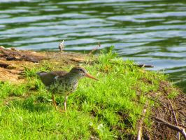 Spotted Sandpiper by LovingLivingLife