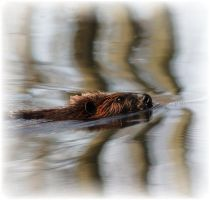 beaver by bydandphotography