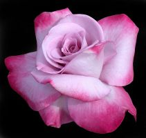 PINK ON PINK ROSE by THOM-B-FOTO