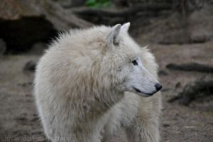 White Wolf by NiviHolm