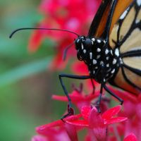 Monarch Butterfly Stock 19 by chamberstock