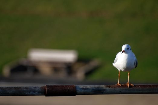 Yet Another Seagull Pic by Smallio123