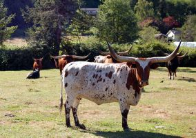 Herd of longhorns by ShannonCPhotography
