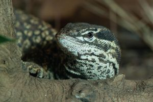Spiny-Tailed Monitor by ribbonworm
