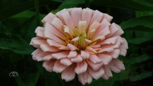 ZINNIA by BELLESYMPHORINE