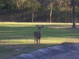 White-Tailed Deer 02 by Vesperity-Stock
