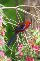crimson rosella in roady by jakwak