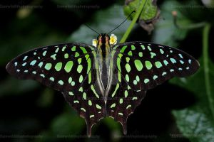 The Tailed Jay by Sam2103