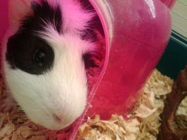 hermione the guinea pig by ZoolyOoly