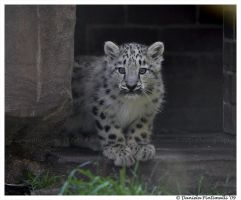 Baby Snow Leopard VII by TVD-Photography