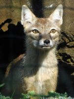 Corsac fox 4 by Cansounofargentina