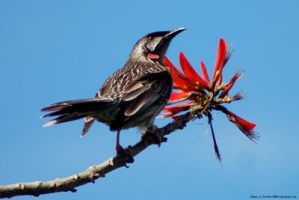 Red Wattlebird and  Red Flower by Creative-Addict