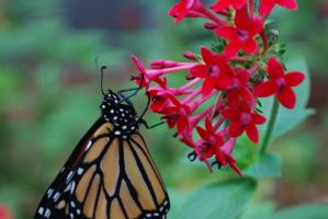 Monarch Butterfly Stock 8 by chamberstock