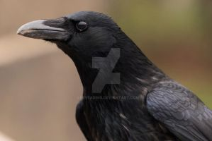Carrion Crow Portrait by GREYFading
