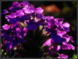 lavender and light by Shellbel