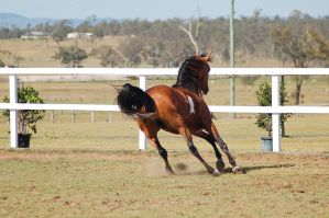 GE arab pinto canter turn view from behind by Chunga-Stock