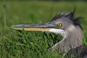 A young Blue Heron by masscreation
