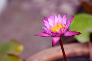 The Lotus by thewinterlily