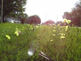 Dandelions in my grass by Sorath-Rising
