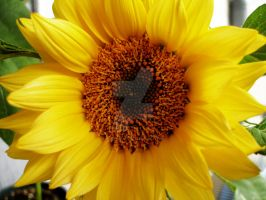 sunflower 3 by theonlysong