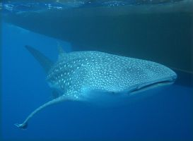 Whale Shark by galindenba