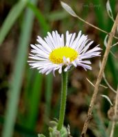 Wildflower III Daisy Fleabane by FireStump