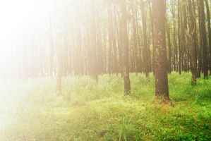 'Pinus' Forest by wmfoto