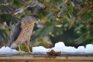 Visiting Hawk by barcon53
