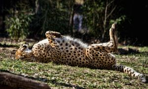 cheetah586 by redbeard31