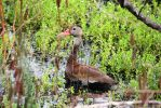Black Bellied Whistling Duck - Bayou Savage by Shadow848327