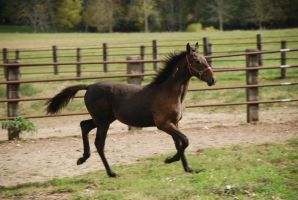 StandieFoal7 by EquestrianPassion