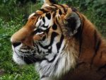 Amur Tiger by AppleBlossomGirl