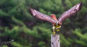Red Tailed Hawk - Take Off by Lenore49