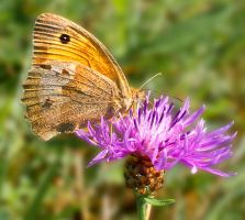 Meadow Brown by starykocur