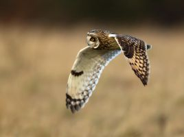 A soft as a breeze- Short eared owl by Jamie-MacArthur