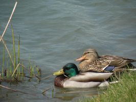 what the duck by Richardbargowski