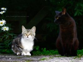 Two cats by ferrySVK