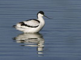 avocetta by FrancoBorsiWildLife
