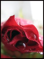 red red rose by justarougue