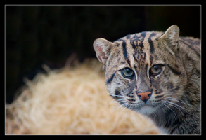 Fishing Cat III NZ110407 by hoboinaschoolbus