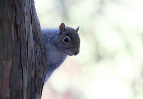 Grey Squirrel II by fraughtuk