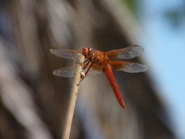 Dragonfly by thehaloequation