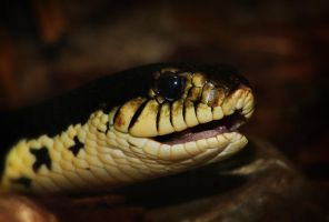 Giant Hognose Snake 2 by S-H-Photography