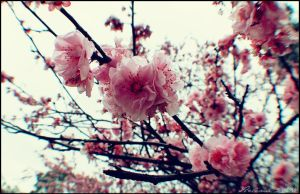 Cherry Blossom by lacerate666