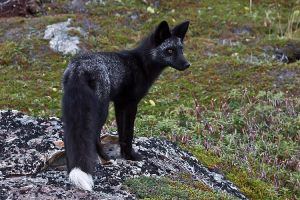 Young Black Fox in the Wild 8 by Witch-Dr-Tim
