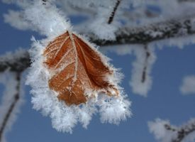 Frosty Leaf by woodythrower