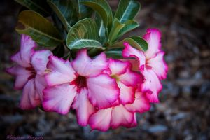 Desert Rose...2 by midnightrider79