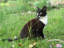 Stock: Black and white cat 3 by Think-Outside-Of-Box