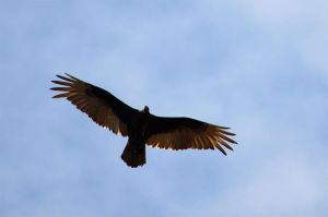 An imposing Turkey Vulture by GuillaumGibault
